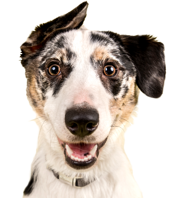 Dog Adoption Search By Breed Size Age And Location