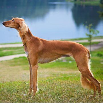 Saluki Puppies For Sale Adoptapet Com