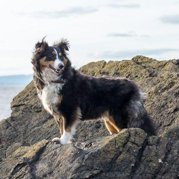 Sheltie Shetland Sheepdog Puppies Dogs