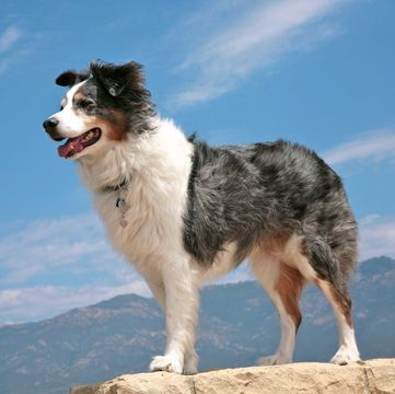 Australian Shepherd Puppies For Sale Adoptapetcom