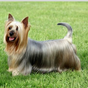 Silky Terrier Puppies for Sale - Adoptapet com