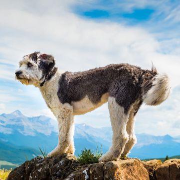 Polish Lowland Sheepdog Puppies For Sale Adoptapet Com