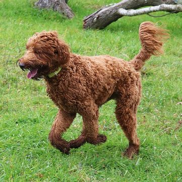 Labradoodle Puppies for Sale - Adoptapet com