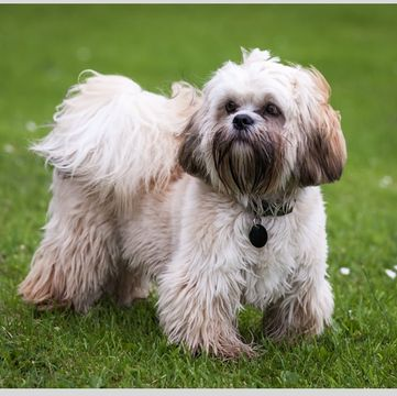 Tibetan Terrier Puppies For