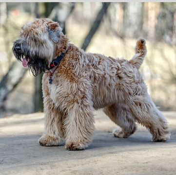 Wheaten Terrier Puppies For