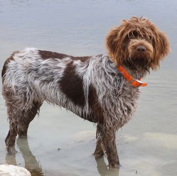 Wirehaired Pointing Griffon Puppies For