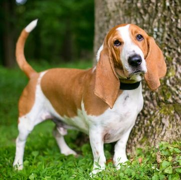 Basset Hound Puppies for Sale - Adoptapet com