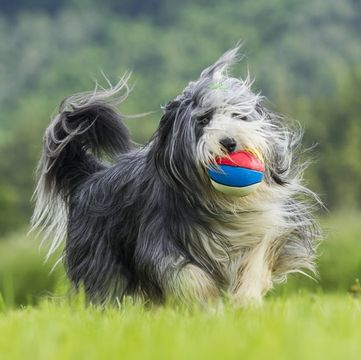 Bearded Collie Puppies Dogs
