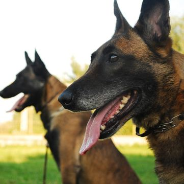 Belgian Sheepdog Puppies Texas