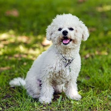 Bichon Frise Puppies For