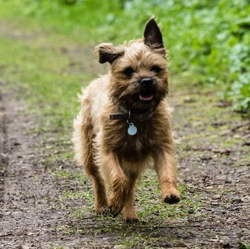 Border Terrier Puppies For Sale Adoptapet Com