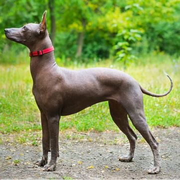 Xoloitzcuintle/Mexican Hairless Puppies for Sale - Adoptapet com