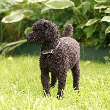 Poodle (Miniature) Puppies for Sale - Adoptapet com