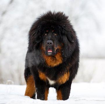 Tibetan Mastiff Puppies for Sale - Adoptapet com