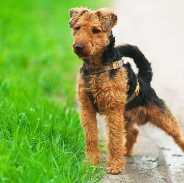 Welsh Terrier Puppies For