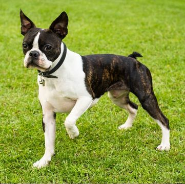 Boston Terrier Puppies Dogs