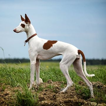 Ibizan Hound Puppies for Sale - Adoptapet com