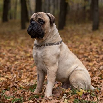 Bullmastiff Puppies For Sale Adoptapet Com