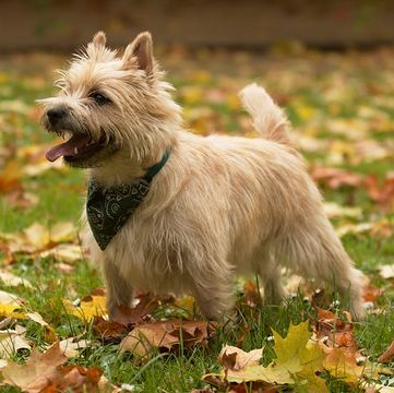 Cairn Terrier Puppies For Sale Adoptapet Com