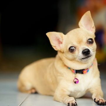 Chihuahua Puppies for Sale - Adoptapet com