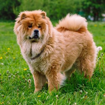 Chow Chow Puppies For Sale Adoptapet Com