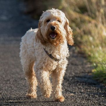 Cockapoo Puppies for Sale - Adoptapet com