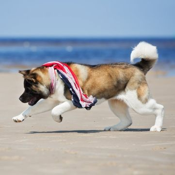 Akita Puppies For Sale Adoptapet Com