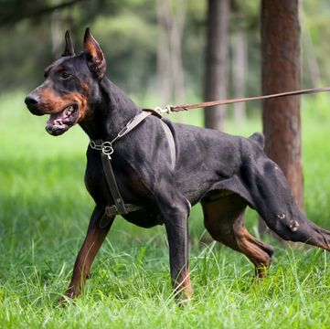 Doberman Pinscher Puppies Dogs