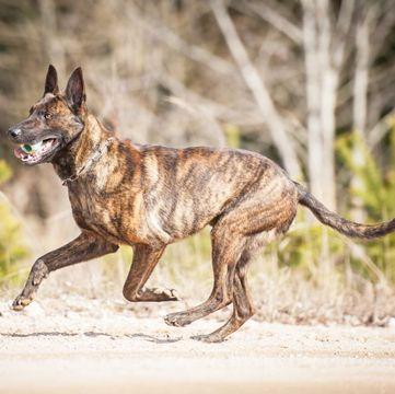Dutch Shepherd Puppies For Sale Adoptapet Com