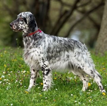 English Setter Puppies For