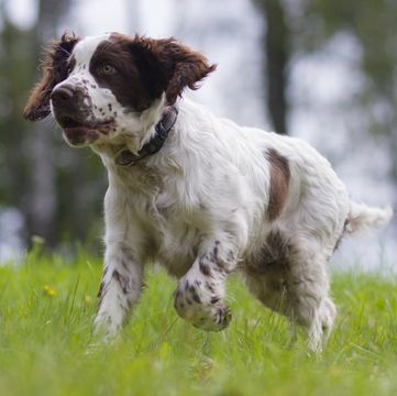 English Springer Spaniel Puppies for Sale - Adoptapet com