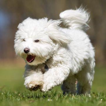 Coton De Tulear Puppies For