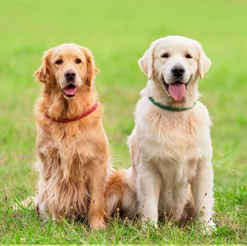Golden Retriever Puppies Dogs
