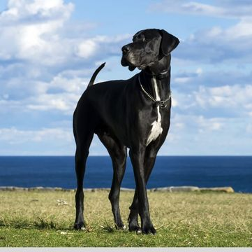 Great Dane Puppies Dogs