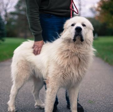 Great Pyrenees Puppies For