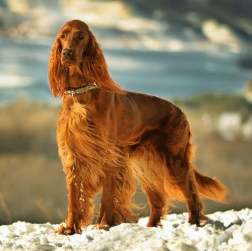 Irish Setter Puppies Dogs
