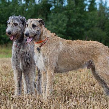 Irish Wolfhound Puppies For