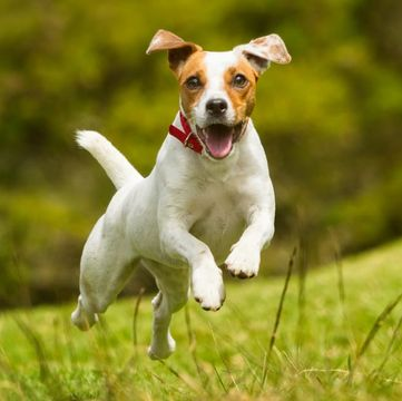 jack russell pointer mix