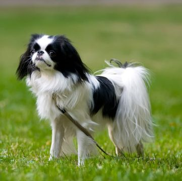 Japanese Chin Puppies for Sale - Adoptapet com