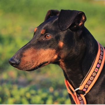 Manchester Terrier Puppies Dogs