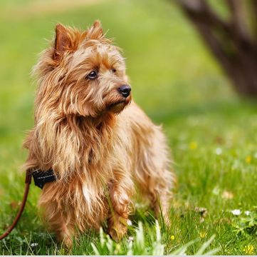Australian Terrier Puppies Dogs