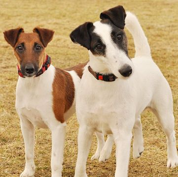 Fox Terrier Smooth Puppies For