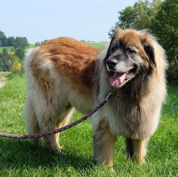 leonberger puppy for sale