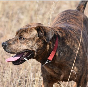 Mountain Cur Puppies For