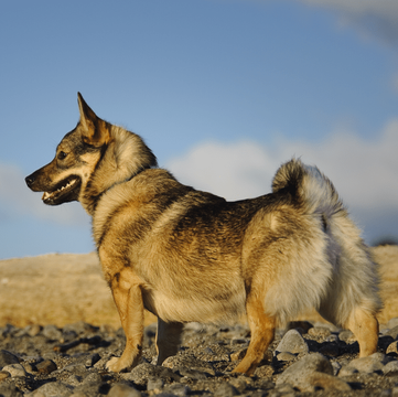 Swedish Vallhund Puppies for Sale - Adoptapet com