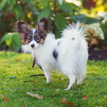 Papillon Puppies for Sale - Adoptapet com