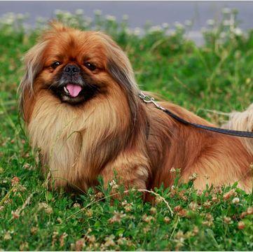 Pekingese Puppies for Sale - Adoptapet com