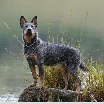 Australian Cattle Dog Puppies For Sale Adoptapetcom