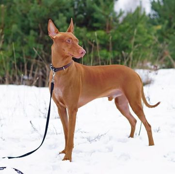 Pharaoh Hound Puppies For
