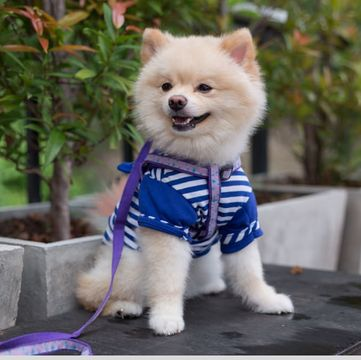 Pomeranian Puppies For Adoptapet